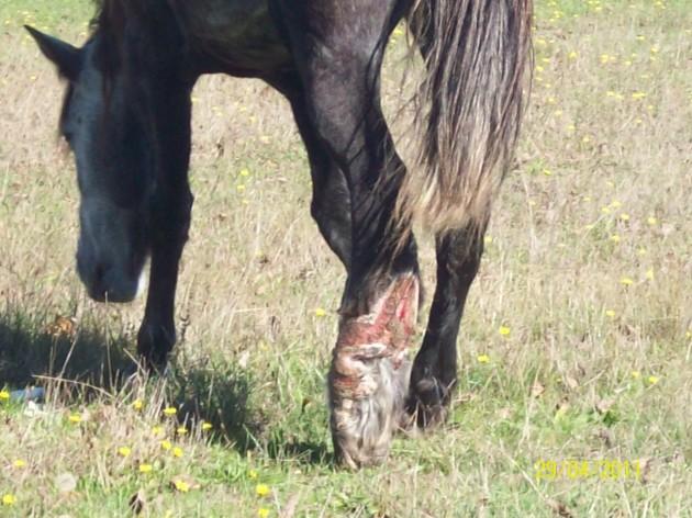 Maltrato a caballos   Marcelo Arévalo