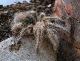 Araña pollito chilena | Wikipedia (CC)