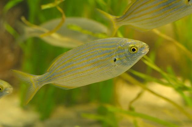 Pez Sarpa salpa | Wikimedia Commons (CC)