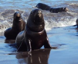 Piden ayuda para lobo marino que tiene alambre atado al cuello en Caleta Lo Rojas de Coronel