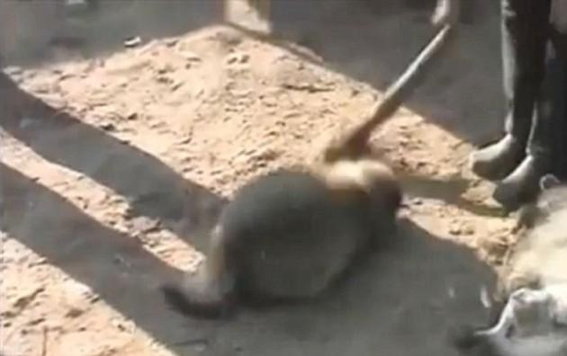 Un mapache es golpeado en la cabeza para aturdirlo, otro yace a su lado