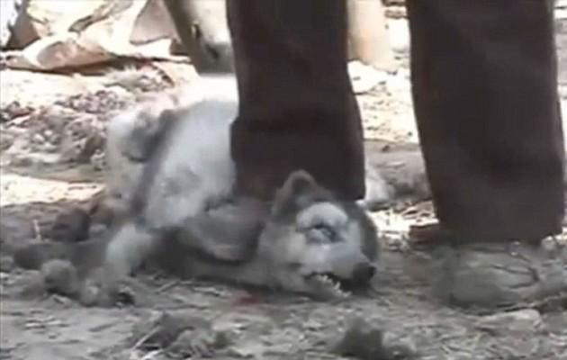 Un trabajador pisa el cuello de un mapache para inmovilizarlo