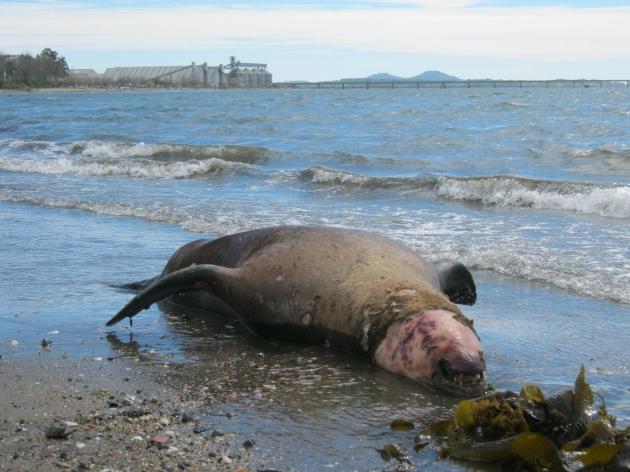 Lobo de mar en Penco | Antonio Monsalve