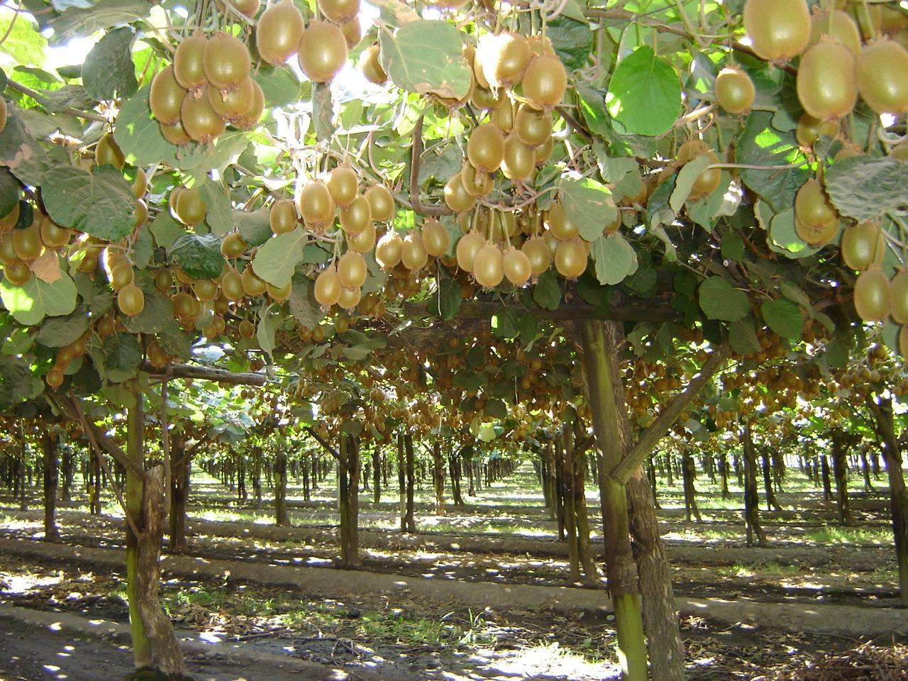 Sag Del Maule Inspeccionar 225 Plantaciones De Kiwi Notas