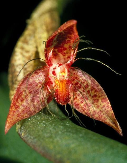 Bulbophyllum nocturnu