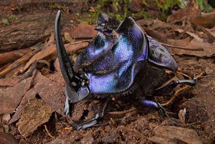 Escarabajo cornudo   Conservation International