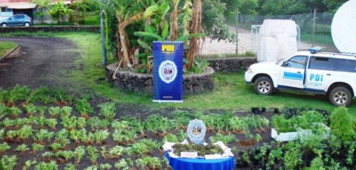 Incautación de marihuana | PDI Isla de Pascua