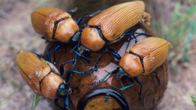 """El escarabajo joya y su """"amada"""""""