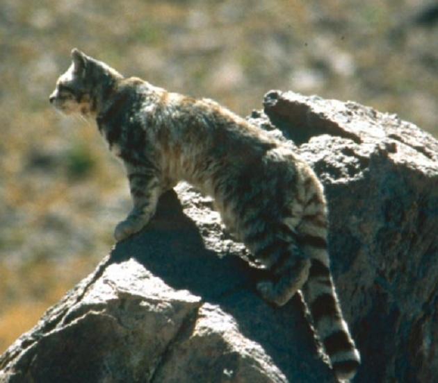 Gato andino | Jim Sanderson / Ministerio del Medio Ambiente