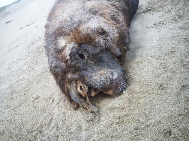 Lobos marinos muertos en Punta de Choros | Matias Arroyo