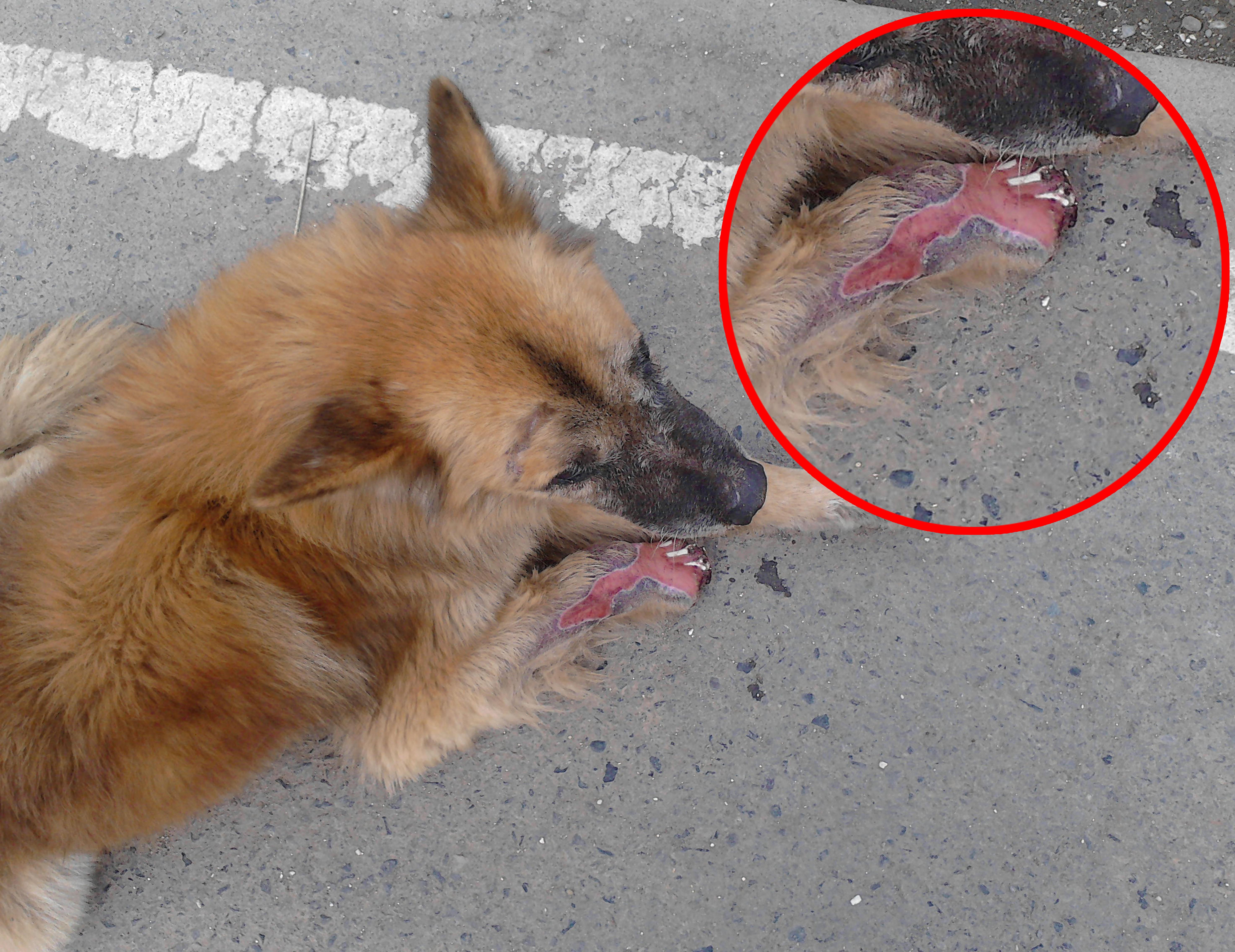 Perrito con su pata herida necesita de ayuda médica con urgencia en ...