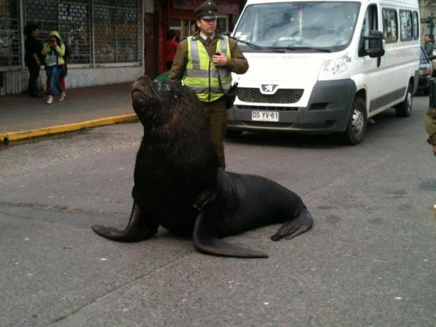 Lobo marina pasea por las calles de Valdivia   Rodolfo Muñoz