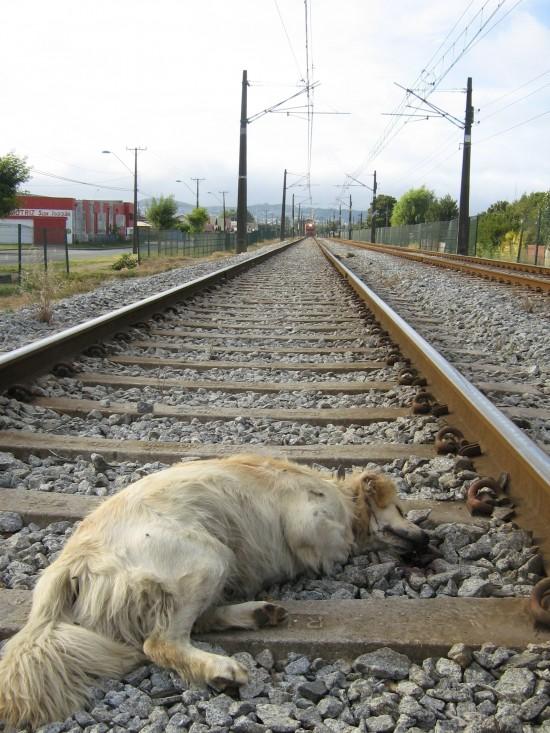 Balto fue víctima del tren | ADLA