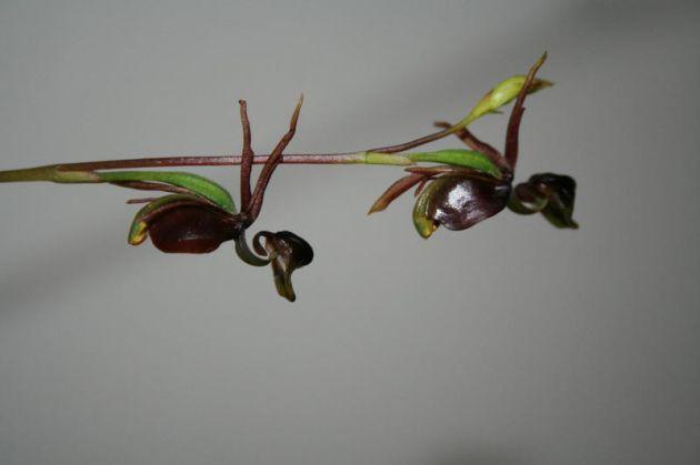 Orchidsonline.com.au