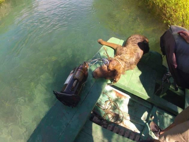 Ahogan a perra preñada con un motor atado al cuello en Ays�