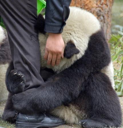 Imagen de panda esperando ser alimentado