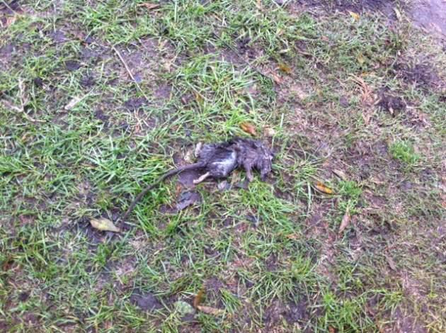 Uno de los ratones hallados en el liceo | Pedro Cid (RBB)