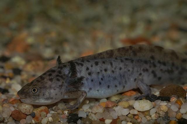 Axolotl | Wikipedia