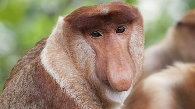 Mono proboscis | Rimbaecolodge