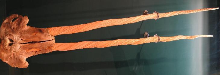 Muestra de dos colmillos de Narval   Benutzer:Soebe (cc) - Wikipedia