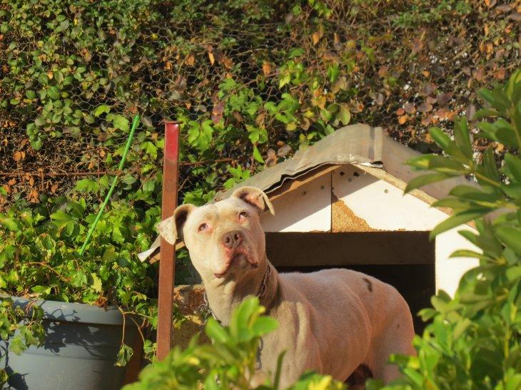 Perrita pitbull busca hogar | Beatriz Silva