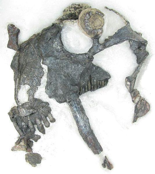 Cráneo del Tiarajudens eccentricus | Juan Cisneros (cc)