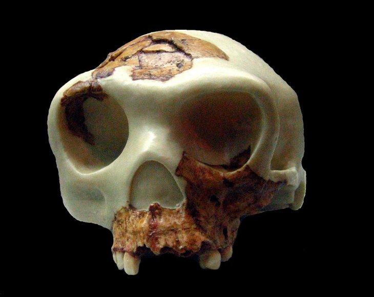 Reconstrucción del cráneo de Homo antecessor | Museu d'Arqueologia de Catalunya (cc)