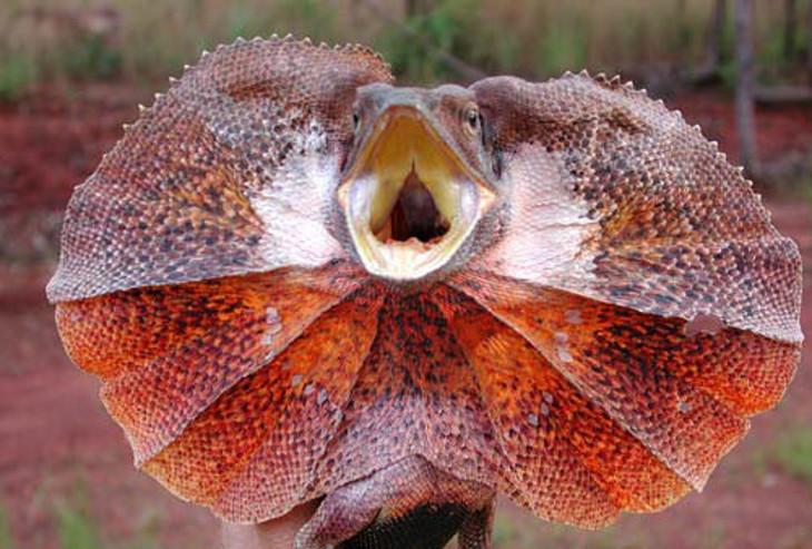Lagarto de collar | Chlamydosaurus kingii