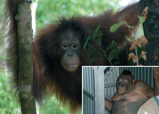 Pony   Borneo Orangutan Survival Foundation