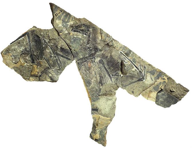 El único especímen conocido del nuevo dinosaurio | Zang Hailong/IVPP