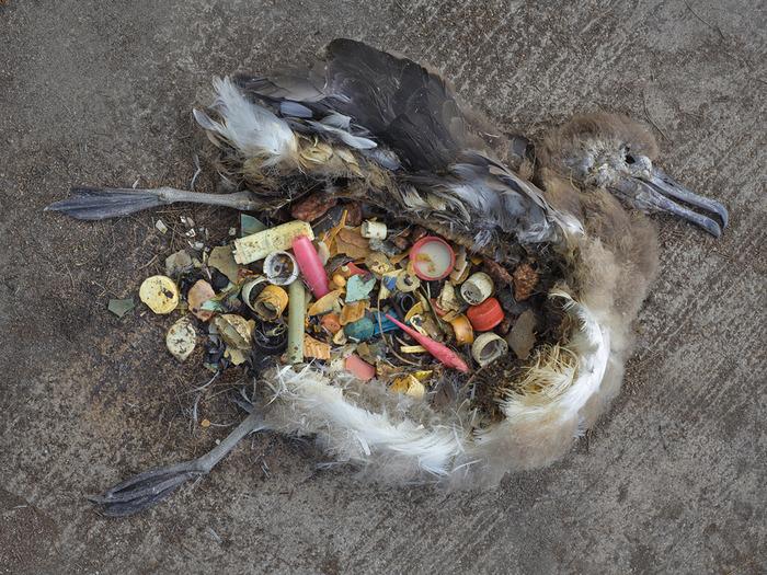 Ave muerta con decenas de elementos de plástico en su estómago