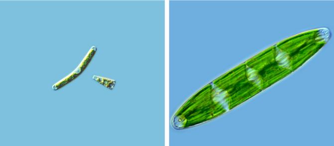 Algas zignematofíceas. Izquierda: Muelas del pan (Roya obtusa). Derecha: Galende Lago de Sanabria (Netrium interruptum). / Antonio Guillén Oterino
