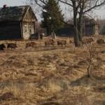 Lobos y otros animales salvajes repoblan Chernobil a 30 años del desastre radiactivo