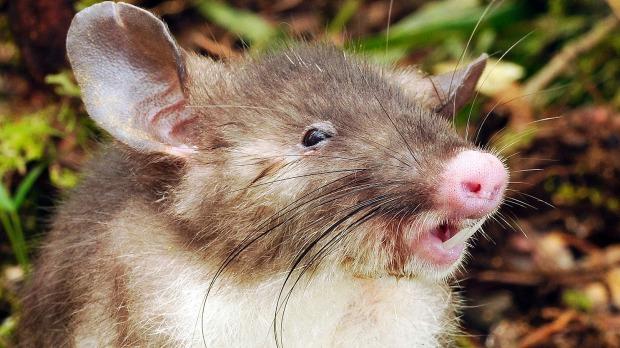 Ratón musaraña