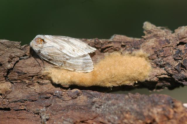 Un ejemplar de Lymantria dispar | widnr (cc) / Flickr