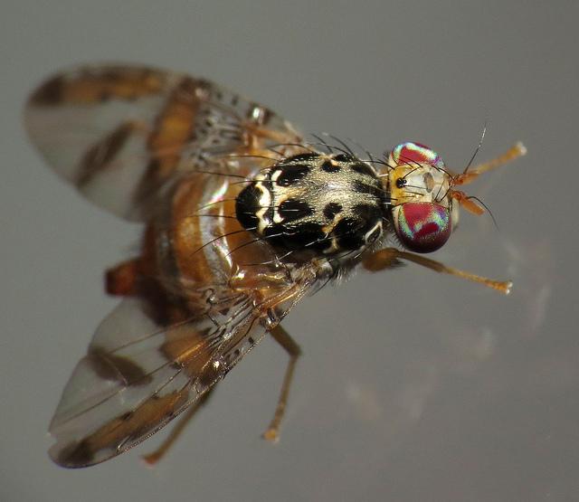 Un ejemplar de Ceratitis capitata | treegrow (cc) / Flickr