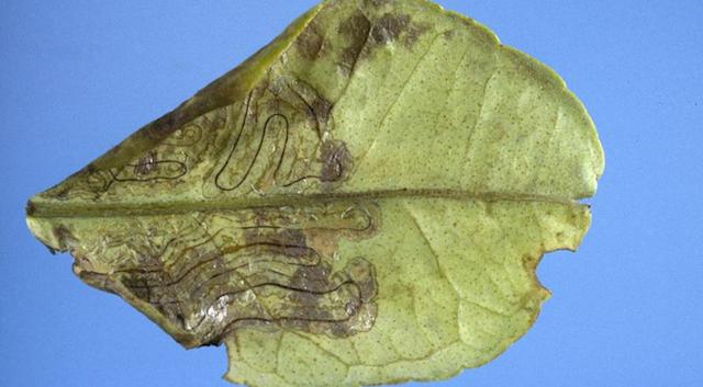 El daño que ocasiona esta plaga | Wikimedia (cc)