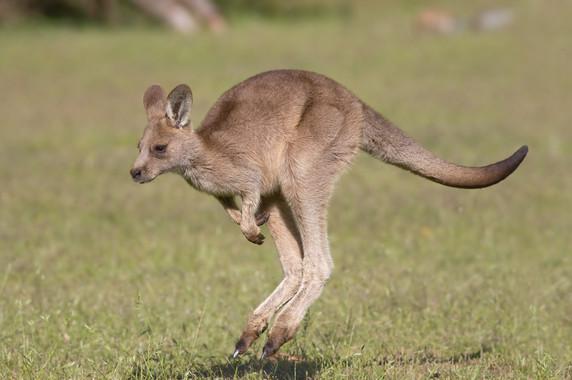 La población estimada de canguros se encuentra entre 34 y 35 millones de ejemplares. / Wikipedia