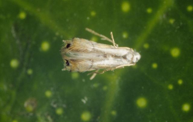 Una Phyllocnistis citrella adulta | Wikimedia (cc)