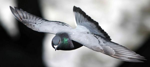 Las aves han desarrollado sofisticadas habilidades visuales para evitar a los depredadores. / Comparative Cognition Laboratory