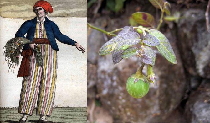 Solanum baretiae, una planta de Perú, fue nombrada en honor a Jeanne Baret, una pionera de la botánica y primera mujer que circunnavegó el planeta l Wikipedia l Tepe et al
