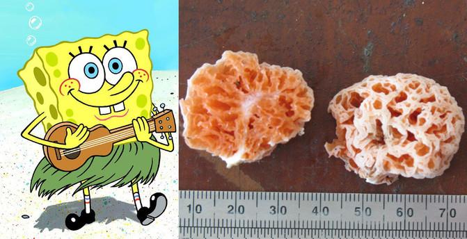 El hongo Spongiforma squarepantsii se adoptó por Bob Esponja (llamado en inglés SpongeBob SquarePants) por su aspecto y por liberar un olor afrutado que recuerda a la casa en forma de piña del dibujo animado l Wikipedia