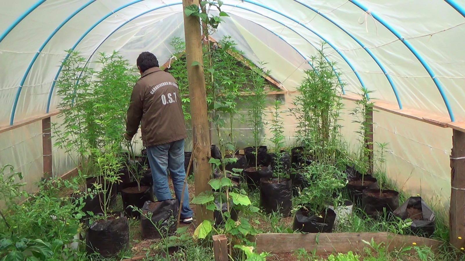 Decomisan 38 plantas de marihuana de un invernadero en for Viveros plantas en temuco