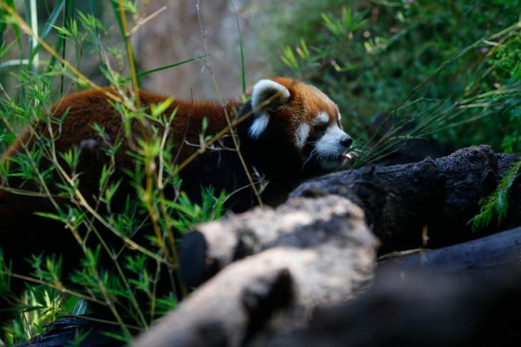 Pandas Rojos en Chile | Agencia UNO