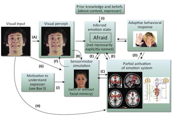 Esta imagen representa el proceso que se lleva a cabo en el cerebro cuando vemos la expresión facial de una persona. Ello activa la simulación sensoriomotriz, con o sin mímica facial, y varias regiones cerebrales para generar una respuesta e identificar ese estímulo visual con una emoción concreta. / Trends in Cognitive Sciences