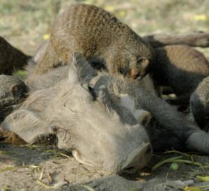 Jabalíes y mangostas mantienen una relación beneficiosa para ambos. Los jabalíes ganan una limpieza y las mangostas un almuerzo. / A. Plumptre