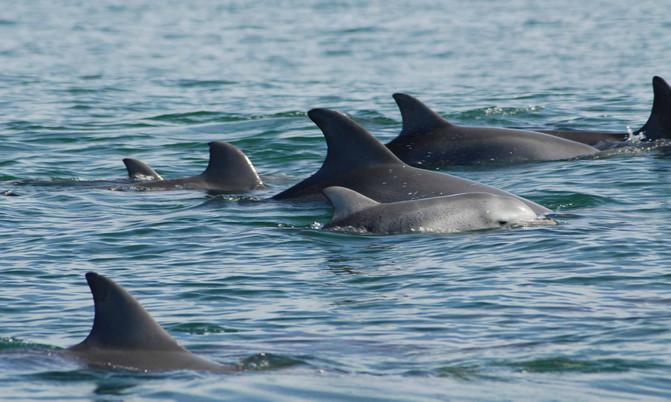 Hembras de delfín mular nadando junto a sus crías. / Holly Raudino (MUCRU)