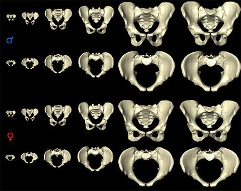 Desarrollo de la pelvis humana desde el nacimiento hasta los 80 años. / MorphoLab, University of Zurich