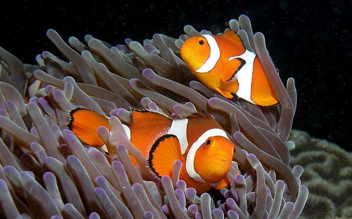 Los peces payasos | Nick Hobgood (cc) / Flickr