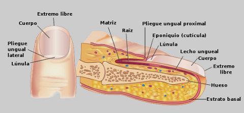 Partes de la uña